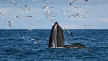 Iceland-Whale-Watching